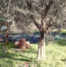 olive picking in Crete